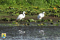 Great Egrets - Midwest Region (8758369050).jpg