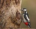 Great Spotted Woodpecker (female) - Flickr - Andy Morffew.jpg