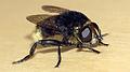 Greater Bulb-Fly (Merodon equestris) (9010262561).jpg