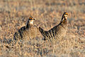 Greater Prairie Chicken (Tympanuchus cupido) (19729007314).jpg