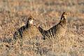 Greater Prairie Chicken (Tympanuchus cupido) (19729007314).jpg