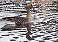 Greater White Fronted Goose (a15afe96-7cf6-4928-982b-05ad65322b2b).jpg