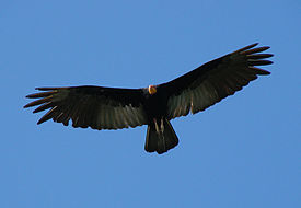 Greater Yellow-headed Vulture (Cathartes melambrotus) in flight from below.jpg