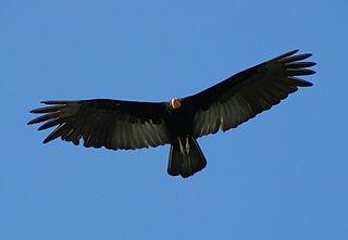 Greater yellow-headed vulture Species of bird
