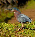 Green Heron - Flickr - Andrea Westmoreland.jpg