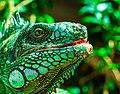 Green Iguana iguana head 2.jpg