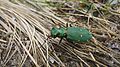 Green Tiger Beetle (8655936176).jpg