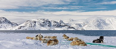 The Greenland Dog was brought from Siberia 1,000 years ago. Greenland 377 (34999131992).jpg