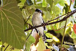 Grey-collared Becard (Pachyramphus major) (8079390335).jpg