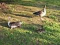 Greylag goose family 2.jpg