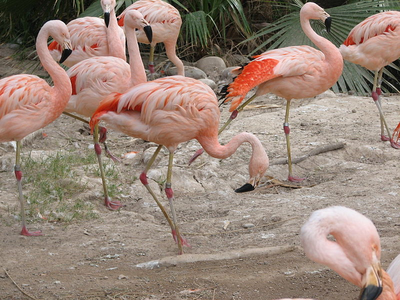 Flamingo hows, wheres and whys: Pink; erectile tissue; one leg ...