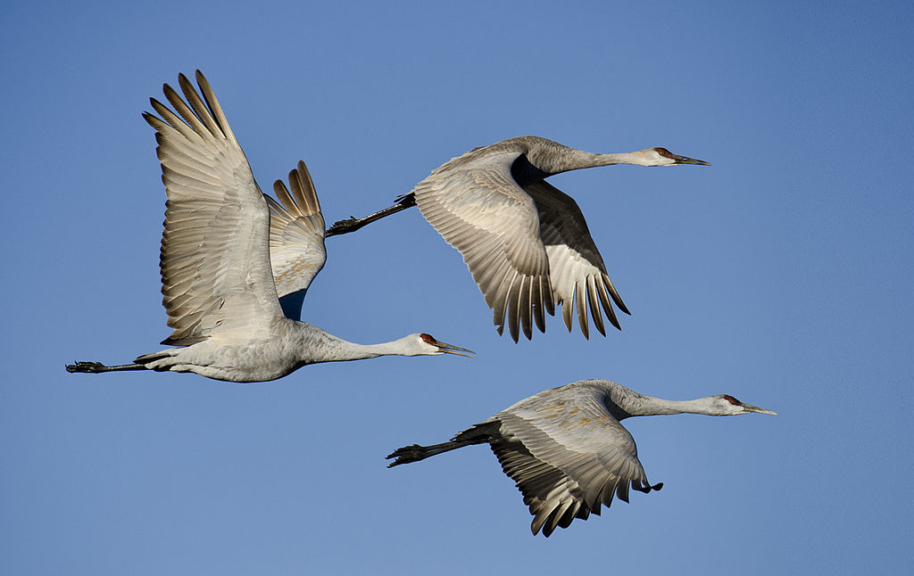 Grus canadensis -Bosque del Apache National Wildlife Refuge, New Mexico, USA -flying-8