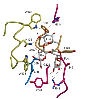 Lectin - An oligosaccharide (shown in grey) bound in the binding site of a plant lectin (Griffonia simplicifolia isolectin IV in complex with the Lewis b blood group determinant); only a part of the oligosaccharide (central, in grey) is shown for clarity