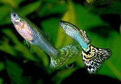Un couple de guppies (Pœcilia reticulata)