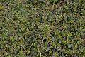 Gymnema sylvestre - Agri-Horticultural Society of India - Alipore - Kolkata 2013-01-05 2262.JPG