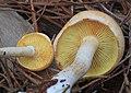 Gymnopilus allantopus 620623.jpg