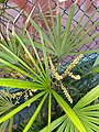 HK 上環 Sheung Wan 卜公花園 Blake Garden plants green 掌狀葉 palm leaves February 2020 SS2 05.jpg