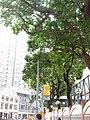 HK 灣仔 Wan Chai 莊士敦道 Johnston Road October 2017 IX1 Candlenut 石栗樹 Aleurites moluccana trees 02.jpg