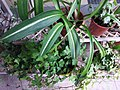 HK Mid-levels High Street clubhouse green leaves plant February 2019 SSG 79.jpg