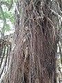 HK SW 上環 Sheung Wan卜公花園 Blake Garden 老榕樹 Chinese banyan tree 氣根 root n trunk February 2020 SS2 11.jpg