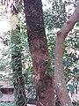 HK hiking 香港 VP 維多利亞山頂 Victoria Peak 舊山頂道 Old Peak Road flora green leaves April 2020 SSG 40.jpg