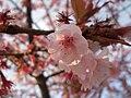 Hachisukasakura-flower.JPG