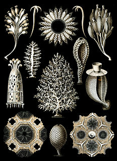 A class of marine sponges of the phylum Porifera which have spicules of calcium carbonate