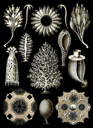 Biomineralization - Some calcareous sponges (Ernst Haeckel, Kunstformen der Natur).