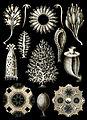 Haeckel Calcispongiae.jpg