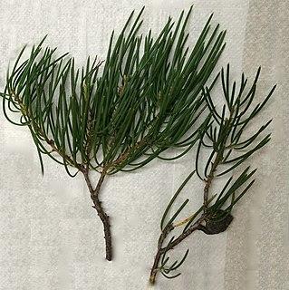 <i>Hakea lissosperma</i> species of plant