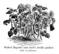 Haricot flageolet nain hâtif à feuille gaufrée Vilmorin-Andrieux 1904.png