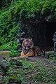 Harimau Sumatera Ragunan.jpg