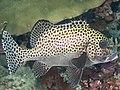 Harlequin sweetlips (Plectorhinchus chaetodonoides) (33904237948).jpg