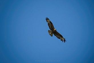 Hawk - A Hawk in flight