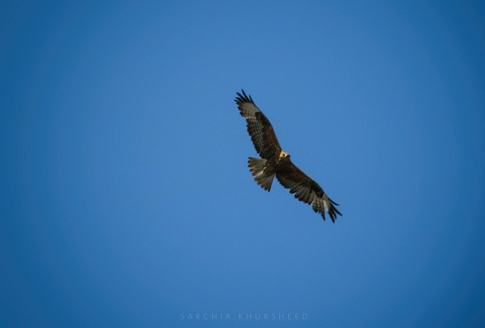 Hawk in Kurdistan