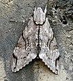 Hawkmoth. Sphingidae. Sphinginae. Psilogramma increta - Flickr - gailhampshire.jpg