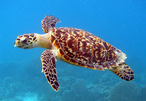 Hawksbill Sea Turtle Carey de Concha (5840602412)