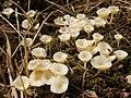 Heath Navel on Sphagnum moss - geograph.org.uk - 1264358.jpg