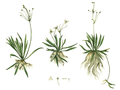 Helanthium tenellum - Mutis-2.png
