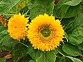 Helianthus annuus (cultivar) 02.jpg