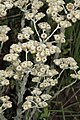 Helichrisum sp. (Asteraceae) (6932178915).jpg