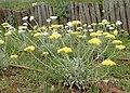 Helichrysum orientale kz08.jpg