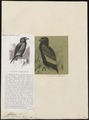 Helotarsus ecaudatus - 1700-1880 - Print - Iconographia Zoologica - Special Collections University of Amsterdam - UBA01 IZ18100343.tif