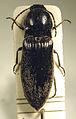 Hemicrepidius niger1.jpg