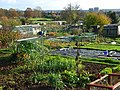 Henley Road Allotments, Caversham - geograph.org.uk - 615533.jpg