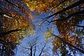 Herbstlicher Buchenwald bei Gaflenz.JPG
