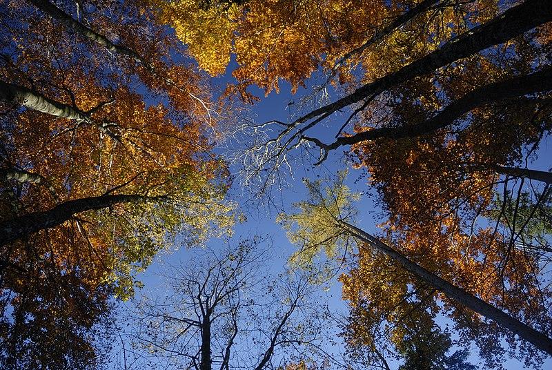 File:Herbstlicher Buchenwald bei Gaflenz.JPG