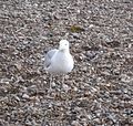 Herring Gull 013.JPG