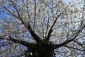 Herz-Kirsche (Prunus avium subsp. juliana), mit Efeu bewachsen.JPG