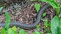 Hierophis viridiflavus in Aveyron 01.jpg